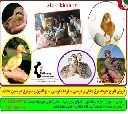 فروش جوجه مرغ و اردک محلی در تمامی سنین