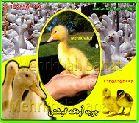 فروش وارسال جوجه اردک به کل کشور